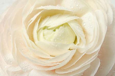 Beautiful spring ranunculus flower as background, closeup