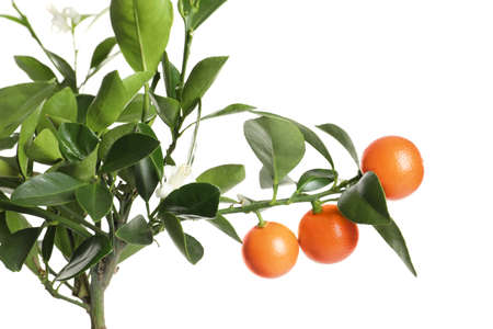 Citrus tree with fruits isolated on white Standard-Bild - 124990701