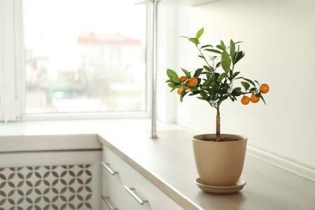 Potted citrus tree on cabinet near window indoors. Space for text Standard-Bild - 124990706