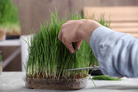 Woman cutting sprouted wheat grass with scissors at table, closeup Stock Photo