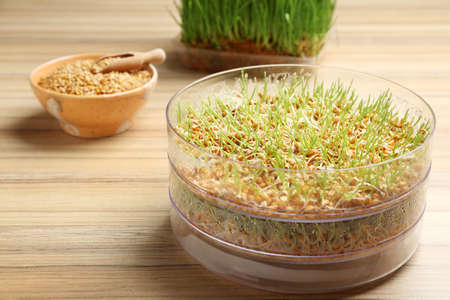 Fresh wheat grass in sprouter on table, space for text