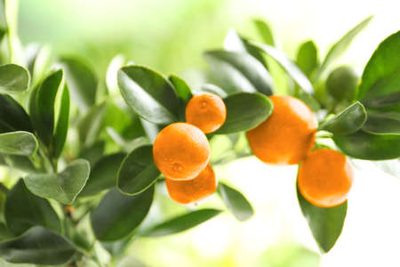 Citrus fruits on branch against blurred background. Space for text Imagens