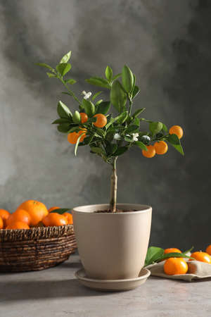 Potted citrus tree and fruits on table against grey background
