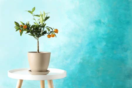 Citrus tree in pot on table against color background. Space for text Фото со стока