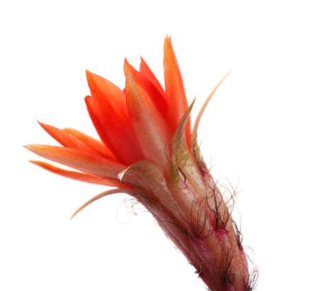 Cactus (Echinopsis chamaecereus) with beautiful red flower on white background, closeup Stock Photo