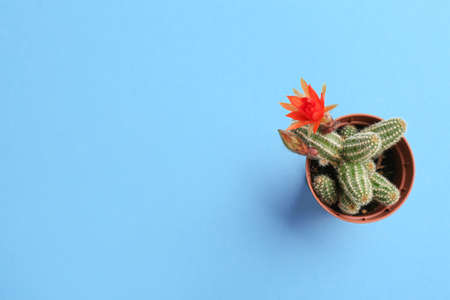 Cactus (Echinopsis chamaecereus) with beautiful red flower in pot on color background, top view. Space for text Stock Photo