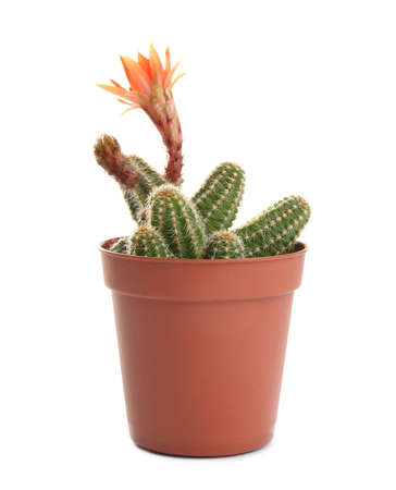Cactus (Echinopsis chamaecereus) with beautiful red flower in pot on white background