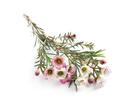 Branch of tea tree with flowers on white background. Natural essential oil Banco de Imagens