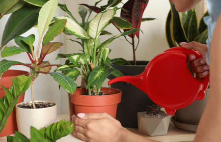 Woman watering indoor plants near wall at home, closeup