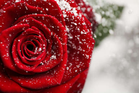 Beautiful red rose with snow on blurred background, closeup. Space for text Archivio Fotografico - 124986329