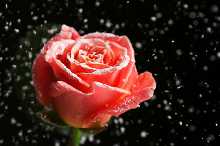 Beautiful pink rose in snow on black background, space for text Archivio Fotografico - 124988646