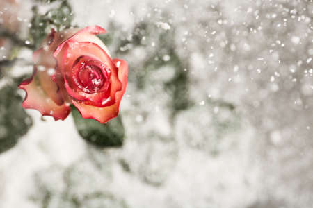 Beautiful rose with snow on blurred background. Space for text