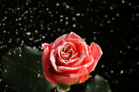 Beautiful pink rose in snow against black background, space for text