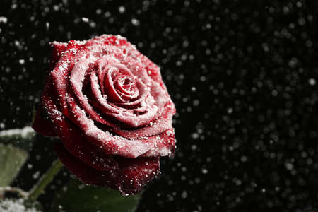 Beautiful rose in snow against black background, space for text Stock Photo