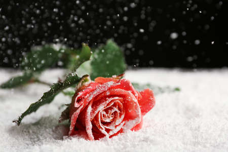 Beautiful rose on snow against black background, space for text
