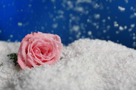Beautiful rose on snow against blue background, space for text Archivio Fotografico - 124990961