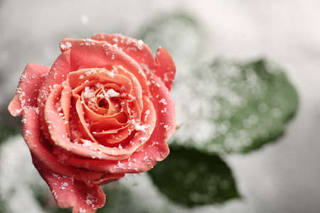 Beautiful rose with snow on blurred background, closeup. Space for text