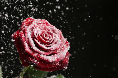 Hermosa rosa en la nieve sobre fondo negro, espacio para texto