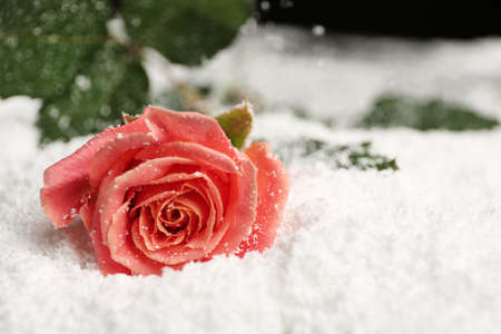 Beautiful rose on snow, space for text