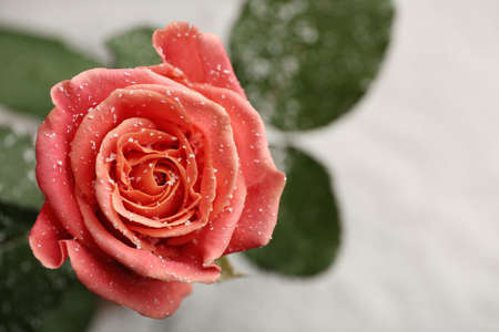 Beautiful rose with snow on blurred background, closeup. Space for text Imagens - 124992325
