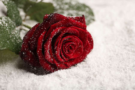 Beautiful rose on snow, space for text Standard-Bild - 124992346