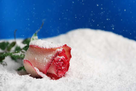 Beautiful rose on snow against blue background, space for text