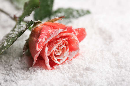 Beautiful rose on snow, space for text Imagens - 124992635