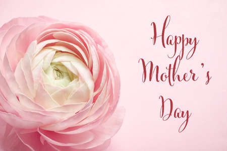 Beautiful ranunculus flower and text Happy Mothers Day on pink background