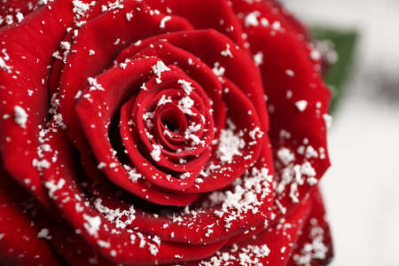 Beautiful red rose with snow on blurred background, closeup