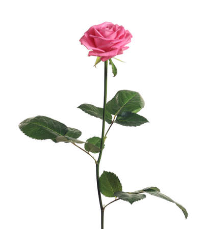 Beautiful blooming pink rose on white background
