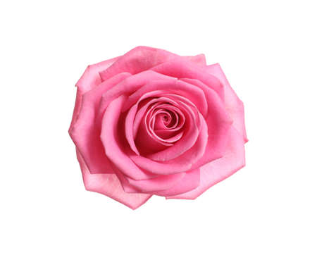 Beautiful blooming pink rose on white background, top view