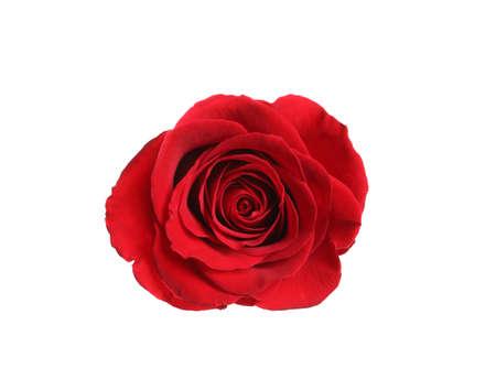 Schöne blühende rote Rose auf weißem Hintergrund, Ansicht von oben