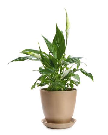 Planta de lirio de la paz en maceta sobre fondo blanco.
