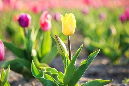 Closeup view of beautiful fresh tulip with water drops on field, space for text. Blooming spring flowers