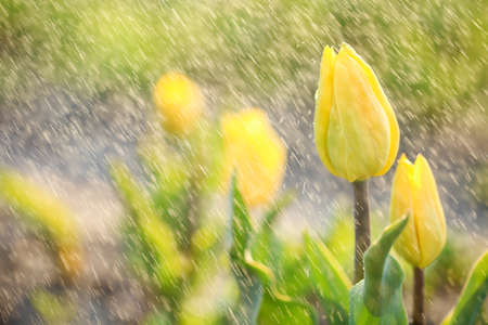 Closeup view of beautiful fresh tulips with water drops on field, space for text. Blooming spring flowers