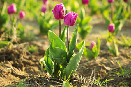 Beautiful fresh tulips with water drops on field, space for text. Blooming spring flowers Imagens