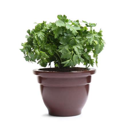 Fresh green organic parsley in pot on white background
