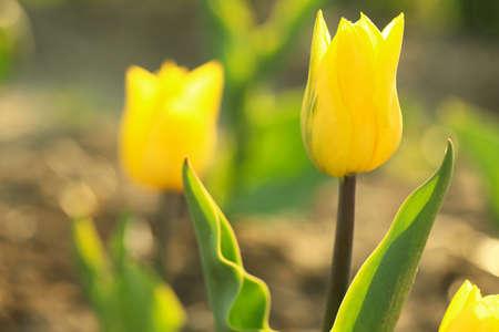 Vista de cerca de hermoso tulipán fresco en campo, espacio para texto. Flores de primavera florecientes