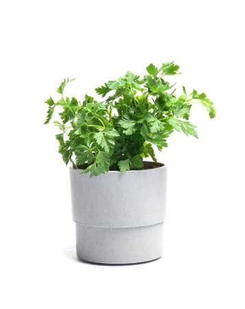 Fresh green organic parsley in pot on white background Reklamní fotografie
