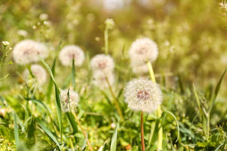 Closeup view of dandelion on green meadow, space for text. Allergy trigger