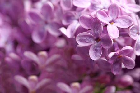 Beautiful blossoming lilac flowers on blurred background, closeup. Space for text 免版税图像