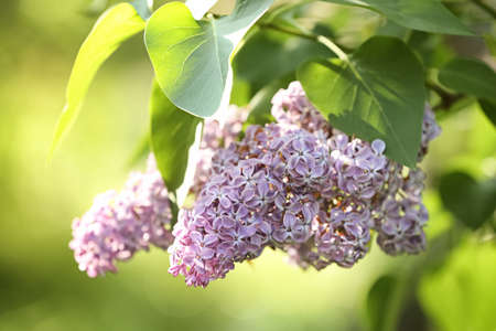 Beautiful green bush with fragrant tender lilac flowers in garden on sunny day. Awesome spring blossom 写真素材