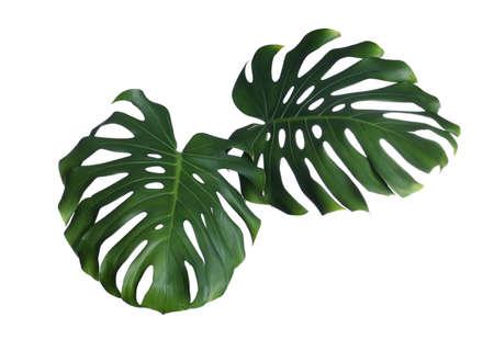 Feuilles de monstera fraîches vertes sur fond blanc. Plante tropicale