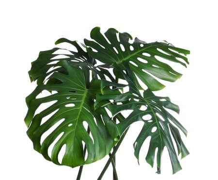 Green fresh monstera leaves on white background. Tropical plant