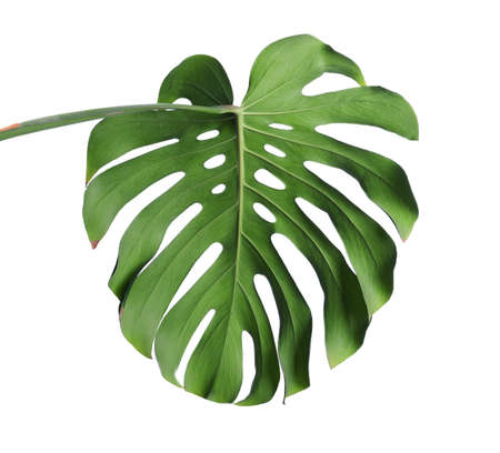Green fresh monstera leaf isolated on white. Tropical plant Stock Photo