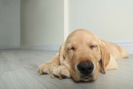 Cute yellow labrador retriever puppy on floor indoors. Space for text