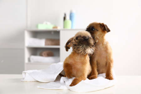 Studio portrait of funny Brussels Griffon dogs with towel in bathroom