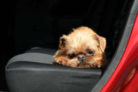 Adorable little dog in car, space for text. Exciting travel