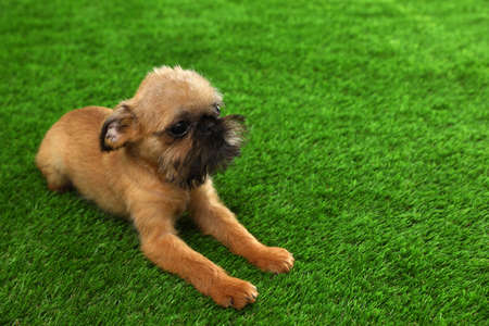 Studio portrait of funny Brussels Griffon dog on green grass. Space for text Stock Photo