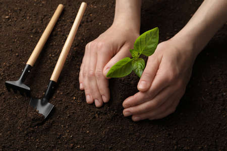 Woman planting young seedling into soil, closeup. Gardening time